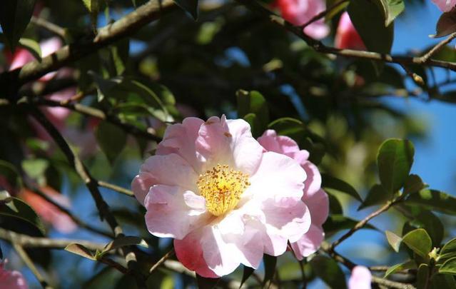 盆栽养殖法之茶花如何养