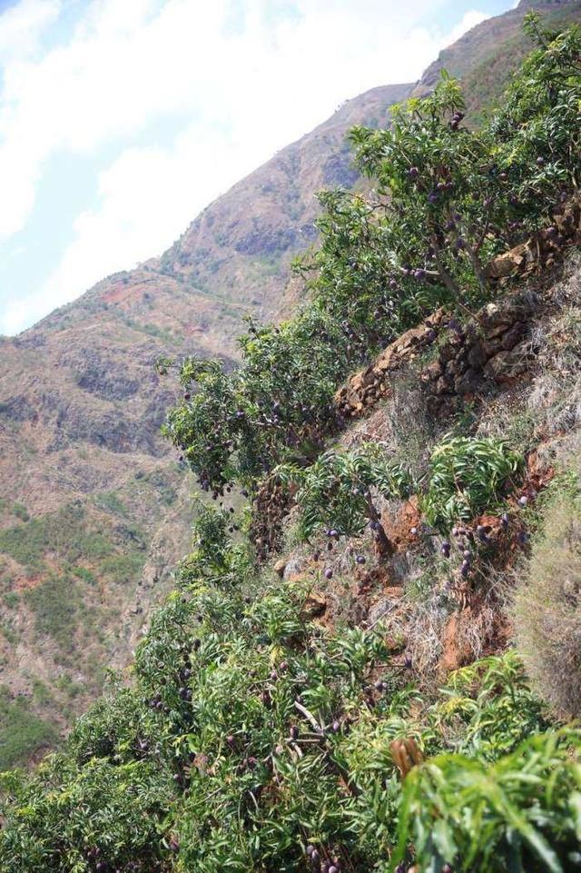 惊!原来攀枝花芒果生长在这样的地方,终于明白它为什么这么贵了!