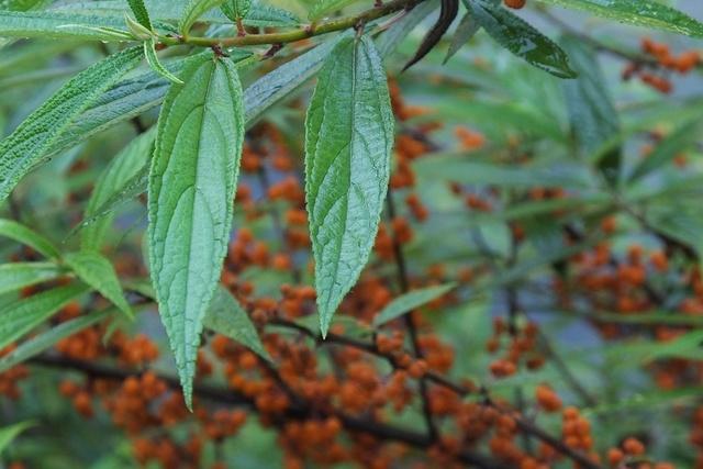 水麻:橙黄果实酸又甜 清热解毒治耳炎