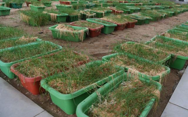 加加工厂化育苗年产值过亿 促进曲周县农民增收