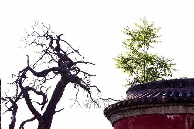 孟子故里孟庙旅游 古老的柏树让我急忙举起相机