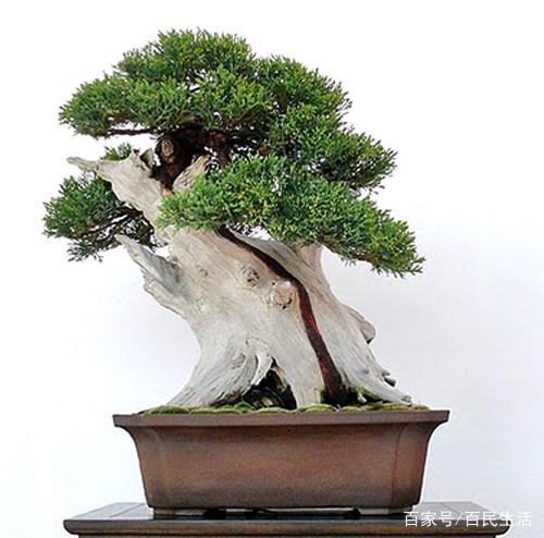 盆景欣赏:一反常规的生长姿态,或歪斜生长或盘虬卧龙、蜿蜒逶迤