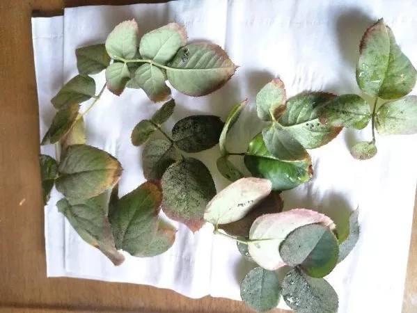 你家的月季得过这些病吗?赶紧来看看 月季栽培种植-南阳天润月季有限公司