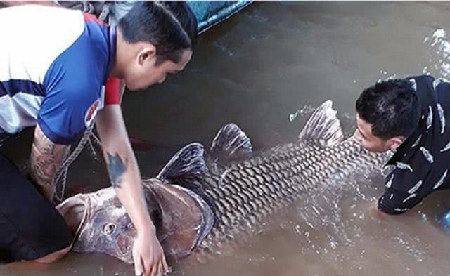 越南之行:渔民捕获罕见250斤巨型鲤鱼,其鳞片比成人拳头还大