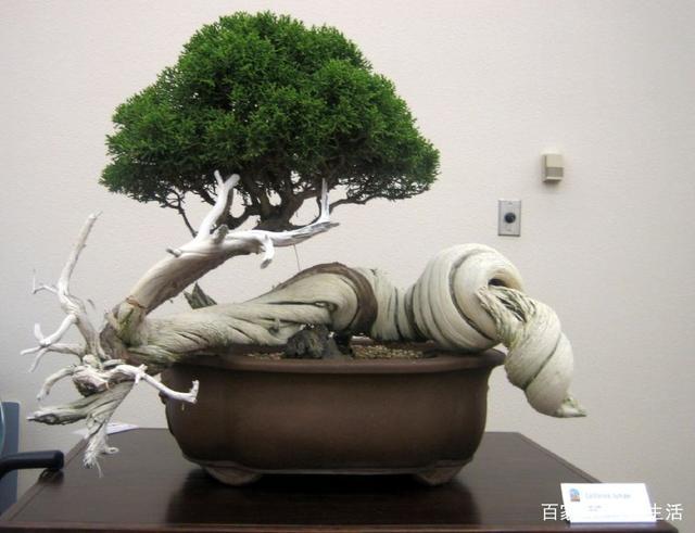 """盆栽:你看图一的盆栽如同""""盘虬卧龙"""",蜿蜒逶迤的枝干极具美感"""