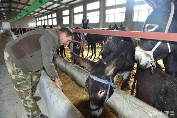「驴苗多少钱一头」毛驴养殖
