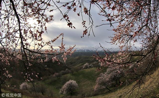 新疆伊犁:天山脚下杏花开